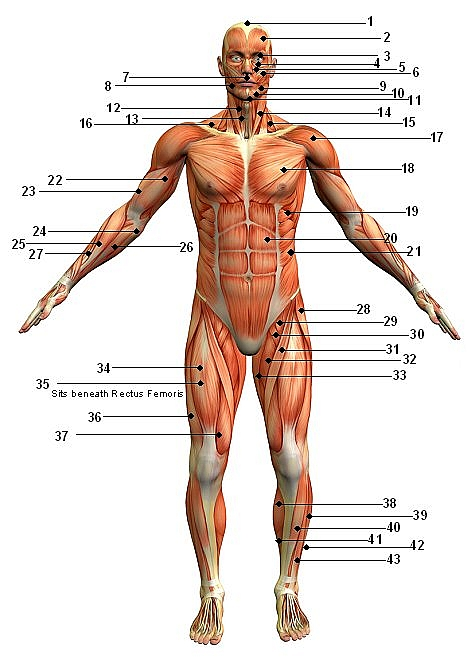 blog muscular system front